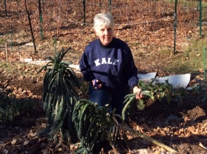 Cutting kale in my otherwise dormant garden -- New Year's Eve, 2014